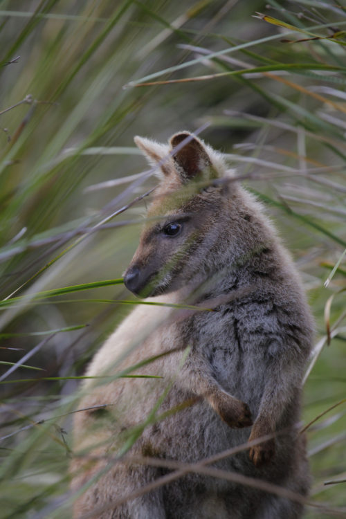 Bennett's wallaby. © 2014 Erland Howden, all rights reserved.