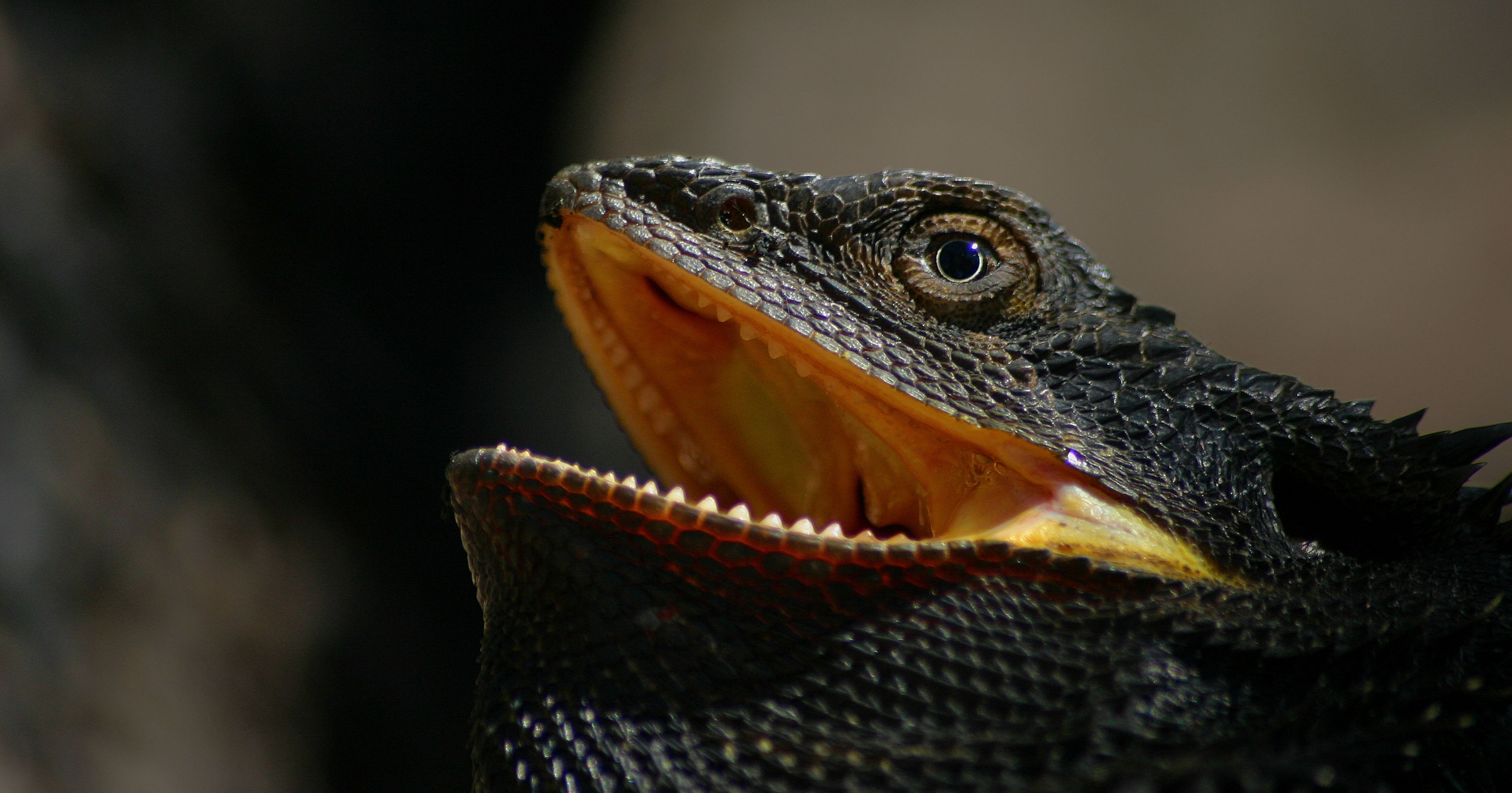 Eastern Bearded Dragon. © 2005 Erland Howden, all rights reserved.