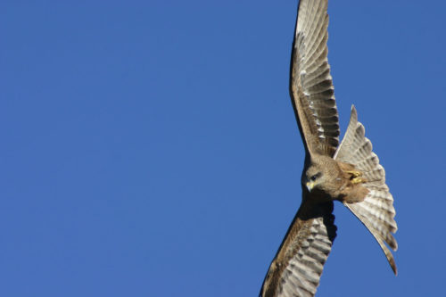 Black Kite. © 2007 Erland Howden, all rights reserved.