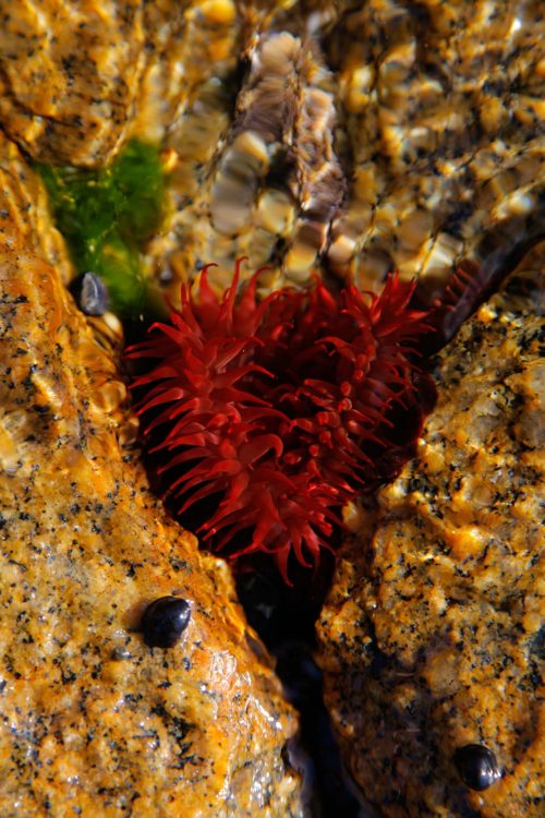 Waratah Anemone, Binalong Bay