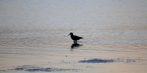 Wading Sooty Oystercatcher